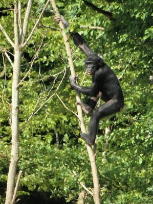 la Vallée des Singes l'acrobate bonobo