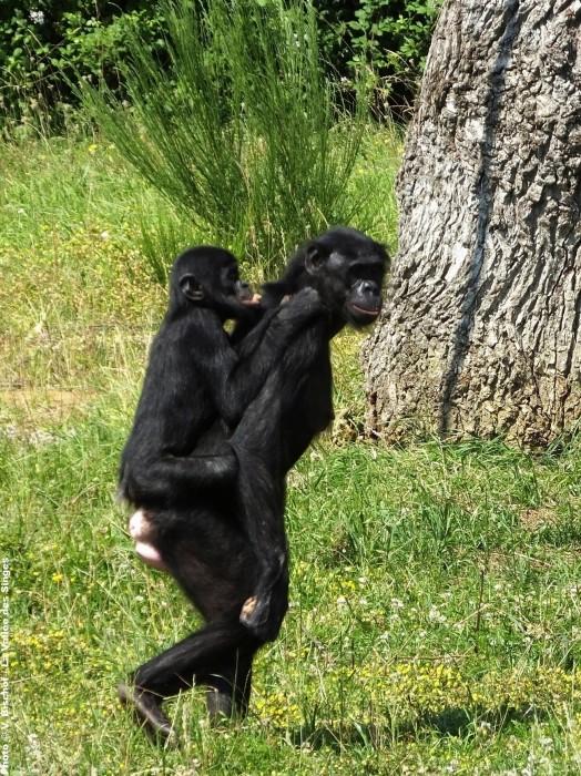 Petit bonobo et sa maman dans la Vallée des Singes
