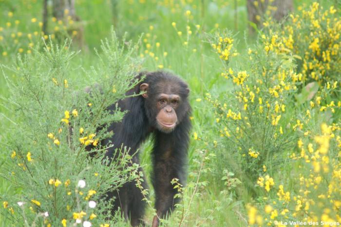 Chimpanzé la Vallée des Singes